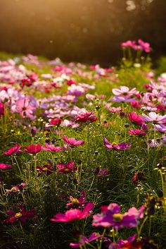 Cosmos.  And some are native here.  I'd love to have my own hunk of prairie in my yard.