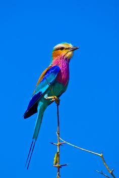 Rolieiro do peito lilás. Pássaro da família dos Coracídeos, Coracias caudata. Vive na África, entre a Namíbia e Moçambique e até a Etiópia.
