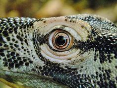 Komodo Dragon, Knoxville Zoo
