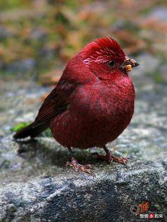 Vinaceous Rosefinch(Carpodacus vinaceus)