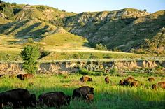 Bison In Theodore Roosevelt National Park, A United States National Park Comprising Three Geographically Separated Areas Of Badlands In North Dakota Theodore Roosevelt National Park, Great American Road Trip, Close Encounters, Photography Guide, The Mountains Are Calling, Us National Parks, Cool Countries, Countryside, Places To Go