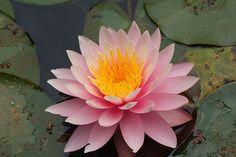 Pink Lotus Flower | jb21 , originally uploaded by mcvmjr1971 .
