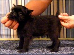 An itty bitty Brussels Griffon puppy! He looks like ours when he was a puppy!