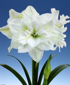 "Amaryllis White Nymph - Royal Dutch Double Amaryllis - Amaryllis - Flower Bulb Index John S.  18""+"