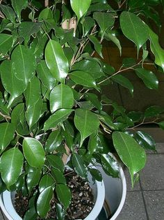 Flower Pots Discover Ficus benjamina - 1 Plant - 1 to 2 Feet Tall - Ship in 1 gal Pot Air Cleaning Plants, Water Flowers, Live Plants, Plant Care, Houseplants, Indoor Plants, Ficus Tree Indoor, Hanging Plants, Garden Landscaping