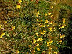 Nachtkerze, ganze Pflanze, Wurzel im Herbst wie Rettich