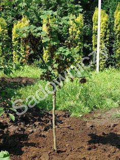 #Porzeczka czarna na pniu w pojemniku #krzew #ogród Sklep Internetowy Wysyłka gratis od 99zł http://www.sadowniczy.pl/product-pol-47374-Porzeczka-czarna-na-pniu-w-pojemniku.html?utm_source=pucek&utm_medium=pin
