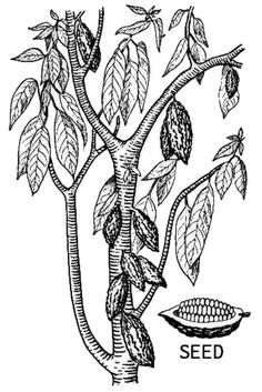cacao plant - Google Search