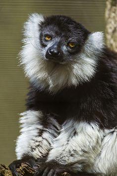 Posing black and white ruffed lemur