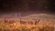 Ciervos al amanecer by PedroCuronisyPellegero