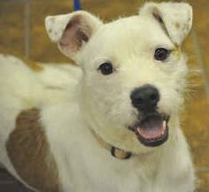 Piper is an adoptable Jack Russell Terrier Dog in Martinsburg, WV. Piper's photos don't really do her justice! She is SO much cuter in person! Only 6 or 7 months old, she is full of energy and has a w...