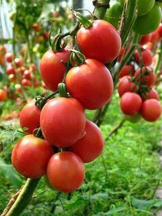 Чтобы помидоры росли крепкими и вкусными - Perchinka63