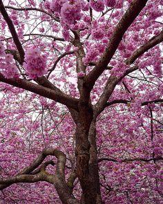 #cherryblossoms #kungsträdgården #stockholm #igswstockholm #streetview_sweden #stockholmbeauty #naturephotography #naturelovers #nature_brilliance #flowerphotography #flower_perfection #ptk_flowers #dof_brilliance #flowersandmacro #PHOTOARENA_NATURE #pedal_perfection #flower_pinks #talent_alert #nature_perfection #naturelover_gr #artistry_sweden #stockholm_insta #capitalofscandinavia #visitstockholm #visitsweden #visitscandinavia #tree_brilliance #cherrytree #sweden_photolovers by…