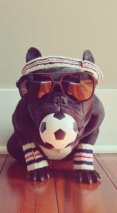 Trotter the fashion-forward French bulldog.