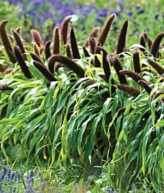 Millet, Ornamental, Jade Princess, , large