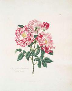 latest addition Rosa Gallica-Versicolor = Rosa Mundi.