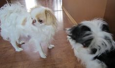 Ivy the Japanese Chin