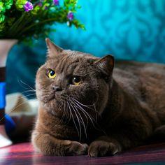 Британский кот Ivian