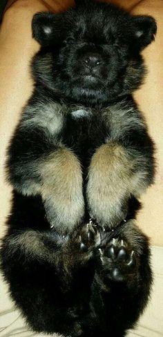 Baby German Shepherd puppy