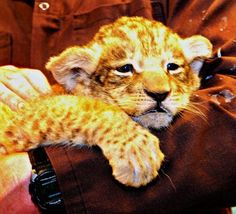 hold a baby big cat!!---CHECK!