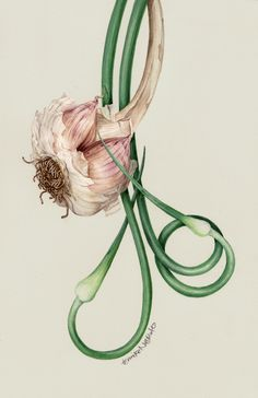 Botanical Portrait - Just Garlic - Bulb and Scapes by Eunike Nugroho