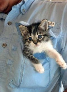 tiny kitten came to work Kittens And Puppies, Cats And Kittens, Crazy Cat Lady, Crazy Cats, Funny Cat Videos, Funny Cats, Cute Cats Photos, Pocket Pal, Little Tykes