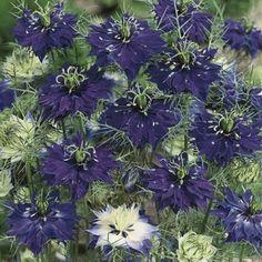 Persian Jewels Indigo love in a mist seeds - Garden Seeds - Annual Flower Seeds