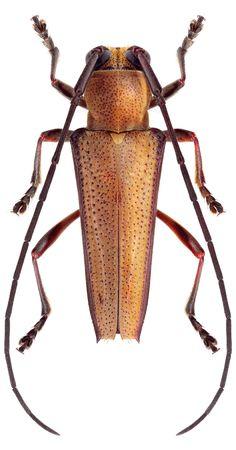 Glenea acuta montana