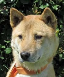 Daibok is an adoptable Jindo Dog in Quartz Hill, CA. Daibok is a purebred Korean Jindo Dog being fostered by Jin-Sohl Jindo Dog Rescue, located in Southern California. The Jindo is similar to the Shib...