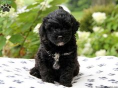 Image result for portuguese water dog puppy