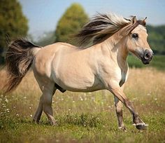 Norwegian Fjord horse Barney at liberty, enjoying a gallop in a field. Pony Breeds, Horse Breeds, Two Horses, Draft Horses, Fjord Horse, Horse Facts, Saving Grace, Horse World, 11th Century