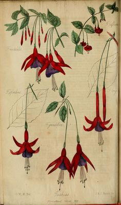 Fuchsias The Floricultural Cabinet August 1835 Conducted by Joseph Harrison.