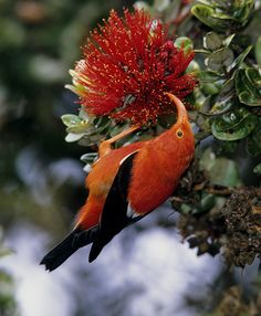 Hawaiian I'iwi bird - red honeycreeper. Endemic and native to Hawaii.