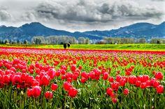 Skagit Valley Tulip Festival, Mt. Vernon, WA - Roozen Gaarde by Patrick Choi, via Flickr