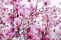 3 Saucer Magnolia Trees Bare Root Pack of 3 Plants Saucer Shaped Pink Flowers | eBay