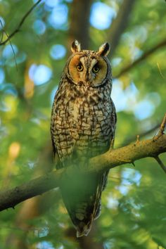 "bsharp321:""Long-eared owl in Okanogan County. Beautiful bird!"""