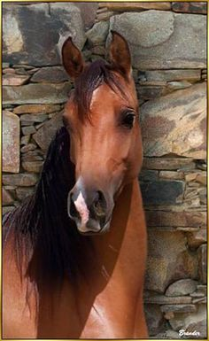 This one stole my heart! Arabian and Saddlebred Mares of Star Creek Arabians and Pintos in Oregon KF Vantasia