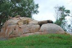 Resultado de imagen para lions san diego zoo