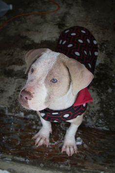 Trudy is an adoptable American Staffordshire Terrier/Bullmastiff Mix up for adoption in Perry, NY! Check her out!