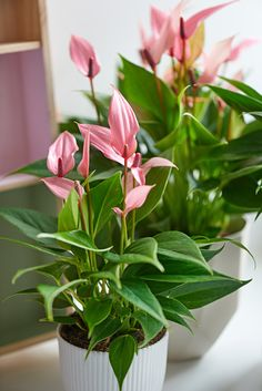 Anthurium plants give us healthier environment by removing toxic substances such as benzene, formaldehyde and ammonia from the air. Exotic Flowers, Beautiful Flowers, Indoor Flowering Plants, Indoor Flowers, Pink Plant, Foliage Plants, Types Of Flowers, Indoor Garden, Houseplants