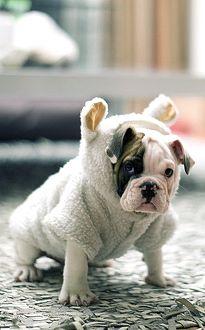 Bulldog puppy in costume