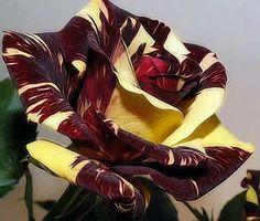 rosa matizada amarilla-bordeau