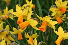 Narcissus 'Jetfire' / RHS Gardening