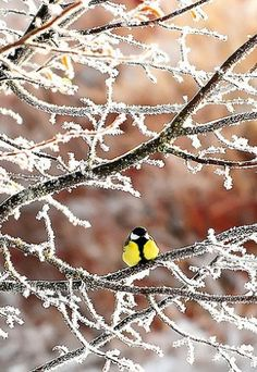 Snowy branches and a pretty little yellow bird.