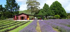 Laurens Lavender Farm lies adjacent to the famous Whanganui River and offers you magical, peaceful tranquil surroundings of lavender fields, farm and bush. New Zealand Attractions, Slide Background, Lavender Fields, Vineyard, Sidewalk, House Styles, World, Outdoor, Outdoors