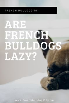 Are french bulldogs lazy? Does your Frenchie sleep a lot? Find out their sleep patterns and if they are in fact-lazy breeds.  #frenchbulldogtips #frenchietips #frenchbulldogfacts #dogfacts #pets #lazyfrenchie French Bulldog Facts, French Bulldog Puppies, French Bulldogs, Training Your Puppy, Training Tips, First Night With Puppy, Food Dog, Puppies Tips, Love Your Pet