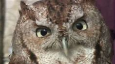 "News Journal: ""Screech owls benefit from sharing forest high-rises with ducks: Screech owls have been roosting, and even nesting, in some of the wood-duck boxes in state wildlife areas and private land in Kent County."""