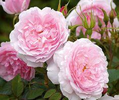 Lady Salisbury English Rose Love This