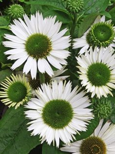 This unique coneflower produces fragrant, pure white flowers with a stunning, dark green center. PP# 18684 (Echinacea purpurea) White Flowers, Plants, Echinacea, Bulb Flowers, Moon Garden, Perennials, Wholesale Flowers, Types Of White Flowers, Flowers