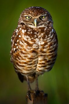 Burrowing Owl Angry Stare